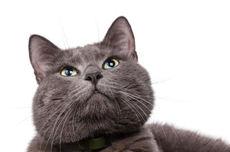 Blue Cats - facts about russian blue cats