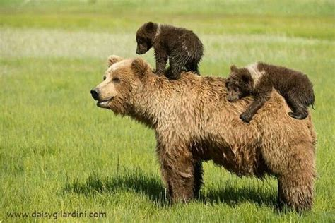 17 Best Images About Bears And Bear Hunting On Pinterest