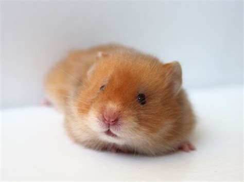 baby hamster really cute baby hamsters wallpapers gallery