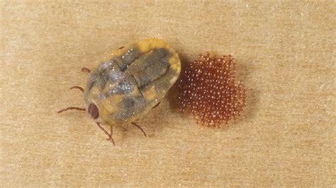 brown dog tick infestation