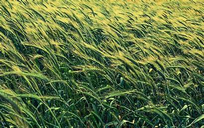 Barley Cereals Field 1freewallpapers Views Definition 1539