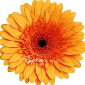 bulk hydrangeas bulk flowers fresh orange with centers gerberas