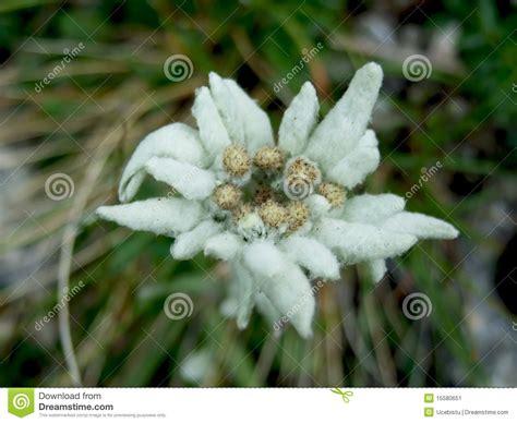 edelweiss fiore alpino fiore alpino di edelweiss immagine stock immagine di