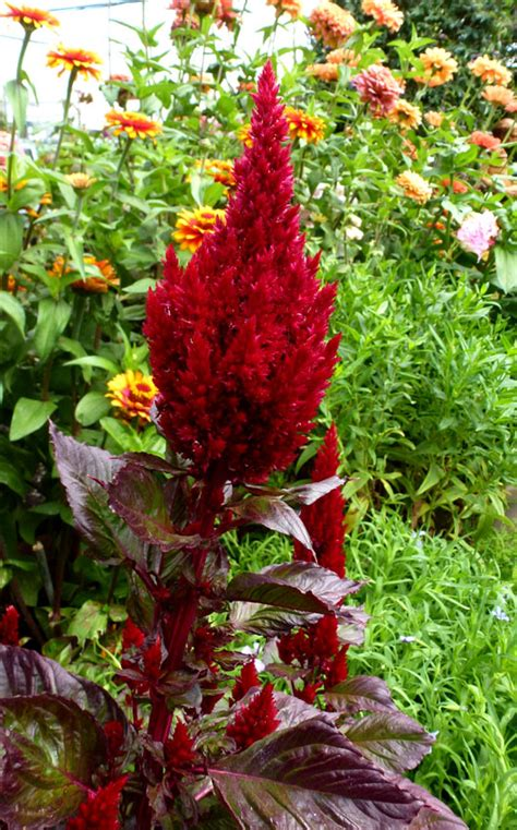 celosia sunday wine plumosa argentea plants var annuals cut box