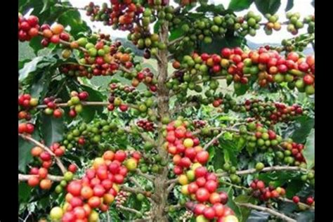 Coffee plant makes an attractive house plant. Coffee beans   Coffee plant, Coffea arabica, Growing coffee