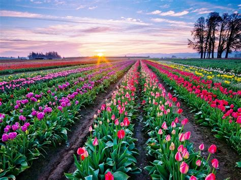 Desk Top Backgrounds Beautiful Tulips Desktop Background 854 Wallpapers13