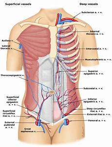 Vasculature Of The Abdominal Wall
