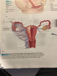 Anatomy Of The Reproductive System Exercise 42