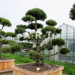 Arbre En Nuage : arbre nuage bonsai g ant pour jardin original r sistant pinus mugo gno ~ Melissatoandfro.com Idées de Décoration