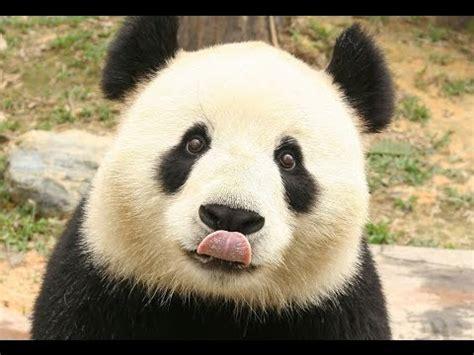 tusadhesivos vinilo de ositos panda panda hermosos y tiernos animales youtube