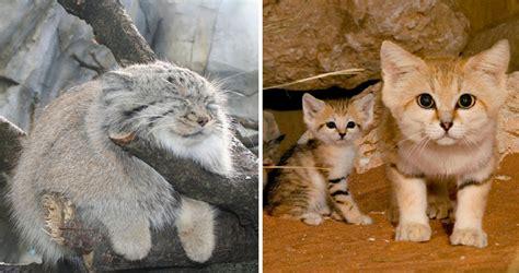 especies curiosas de felinos salvajes  probablemente