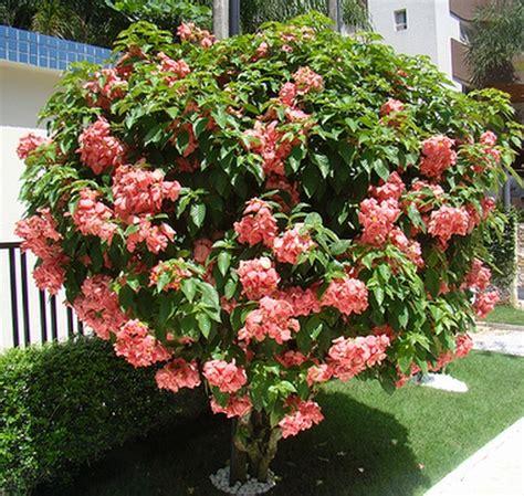 tanaman nusa indah pink pink mussaenda