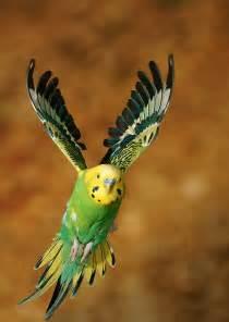 Wild Budgie Bird