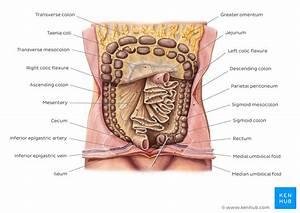 Peritoneum And Peritoneal Cavity  Anatomy And Function