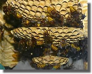 Essaim De Frelon : le frelon europeen vespa crabro france guepes ~ Melissatoandfro.com Idées de Décoration