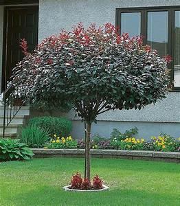 Rote Johannisbeeren Hochstamm Schneiden : die besten 25 pflaumenbaum ideen auf pinterest rote ~ Lizthompson.info Haus und Dekorationen