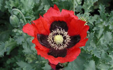 forms  opium