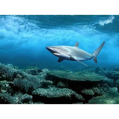 wallpapers: Sharks Desktop Wallpapers