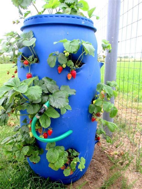 comment planter des fraises sur un balcon en ville erdbeerfass strawberry barrel planting
