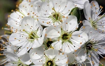 Cherry Wild Blossoms Spring Dream Wallpapers Desktop
