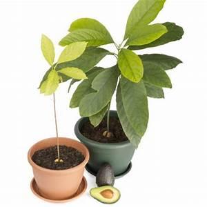 Avocado Pflanze Pflege : avocadokern einpflanzen mein sch ner garten ~ Lizthompson.info Haus und Dekorationen
