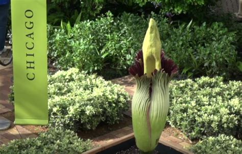 corpse flower blooming at chicago botanic garden