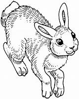 Rabbit Coloring Pages Animals Wildlife sketch template