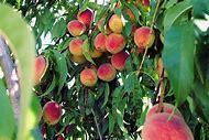 Fertilizing Peach Trees
