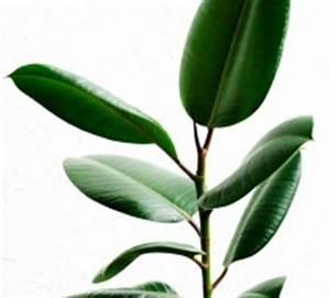 Robuste Zimmerpflanzen Groß : gr ne zimmerpflanzen bl hende pflegeleichte topfpflanzen ~ Sanjose-hotels-ca.com Haus und Dekorationen