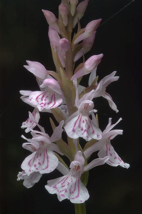 blooming orchids slideshow 875 18 blooming orchid orchis maculata russian name north from st petersburg russia