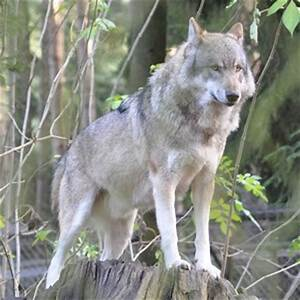 Gray Wolf Facts - 19 Facts about the Gray Wolf | Facts.net