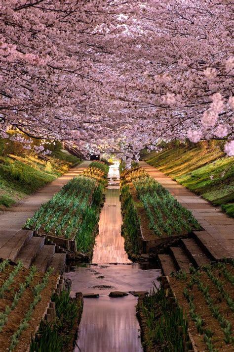 wisteria flower tunnel  japan wallpaper  belas