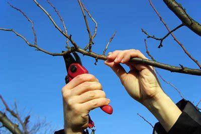 wann pflanzen zurückschneiden quittenbaum pflanzen und pflegen so wird s gemacht