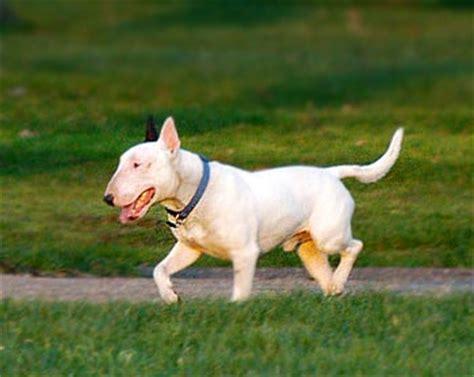 bobbie gambel boston terriers skye terrier poodle mix