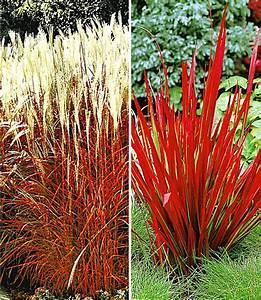Rotes Gras Winterhart : rote gr ser kollektion 4 pflanzen g nstig online kaufen ~ Michelbontemps.com Haus und Dekorationen