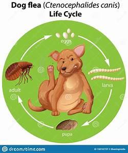 Dog Life Cycle Diagram Vector Illustration