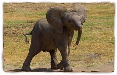 Gambar Elephant Scientific African Gajah Common Lengkap
