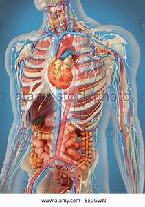 Body Internal Organs - Anatomy Structure