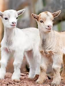 Baby Do Goats Make Good Pets