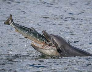 A dolphin launches to eat a salmon | Animals eating ...
