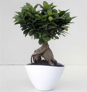 Bonsai Ficus Ginseng : bonsai ficus ginseng 1000 g ceramica eileen 26 cm succulents cactus and bonsai florpagano di ~ Buech-reservation.com Haus und Dekorationen