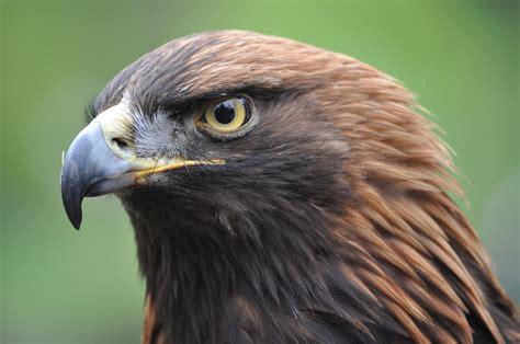 Kostenloses Foto: Mongolischer Adler, Adler - Kostenloses ...