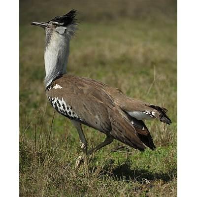Birds of Africa #5 – Kori BustardWalk the Wilderness