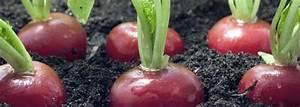 Culture Des Radis : comment cultiver des radis en 3 tapes de la plantation la r colte ~ Melissatoandfro.com Idées de Décoration