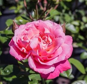 Rose Mein Schöner Garten : rose mein sch ner garten rosa mein sch ner garten ~ Lizthompson.info Haus und Dekorationen