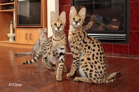 Servals For Sale Uk  Autos Post