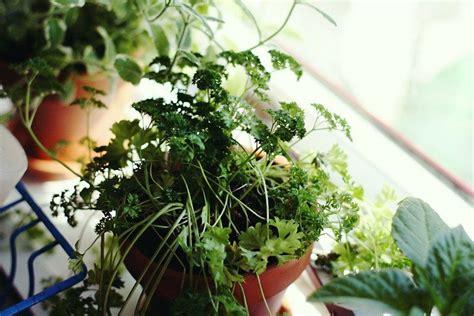 grow  indoor window sill herb garden