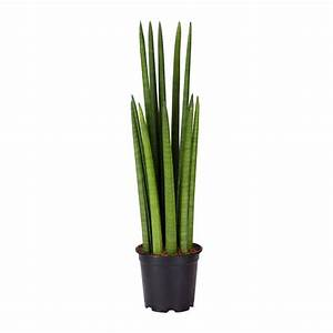 SANSEVIERIA CYLINDRICA Potted plant - IKEA
