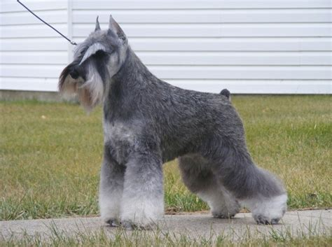 7 Pageant-worthy Schnauzer Dog Haircuts
