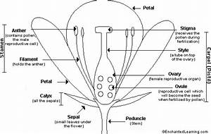 Flower Anatomy Printout